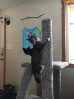 Fane (gray tabby) and Fisk (black cat) are caught in the act of having too much fun!