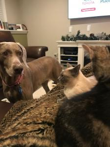The whole family of pets! Gracie (dog), Penny (Siamese), and Jasper, looking on with interest.