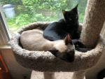Trinity (Siamese) and Neo (black) check out the cat tree offerings at their new home.