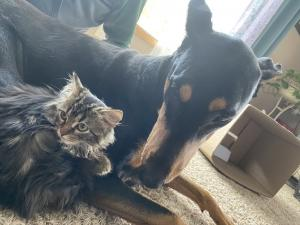 Sometimes a kitty just needs a doberman friend.